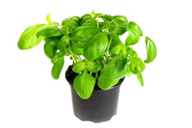 Fresh Basil Herbs Stock Photo