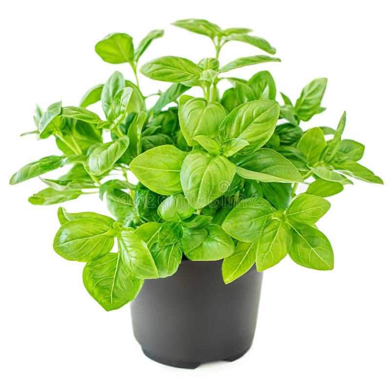 Fresh basil leaves in a pot. Green Basil plant for healthy cooking, herbs and spices isolated on white background royalty free stock photo
