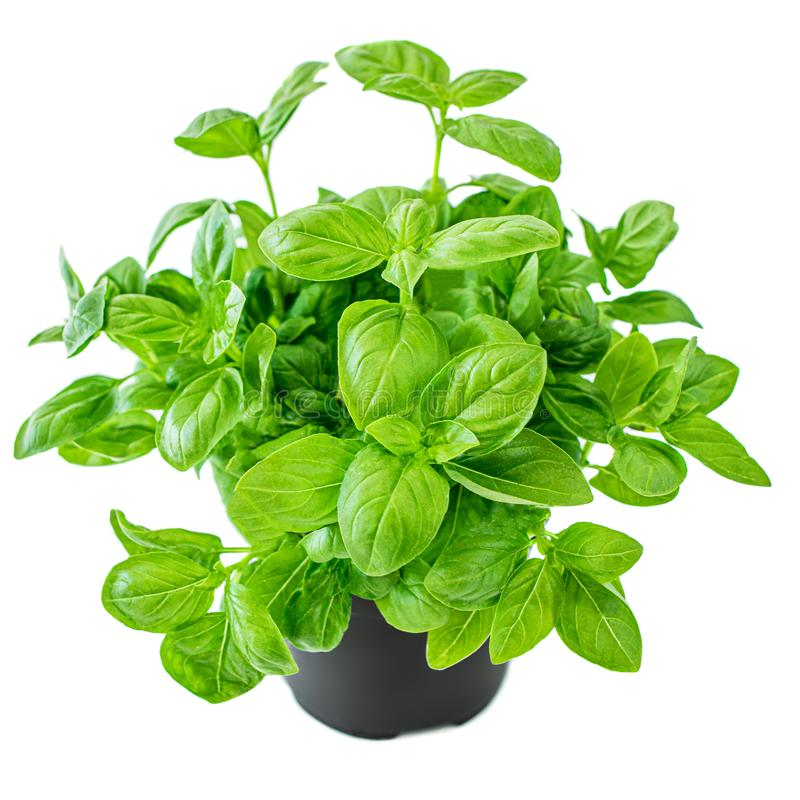 Fresh basil plant with green leaves in a pot. Basil  isolated on white background royalty free stock images