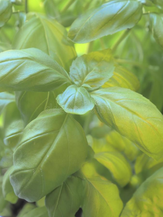 Fresh Basil Plant Growing In Kitchen royalty free stock photography