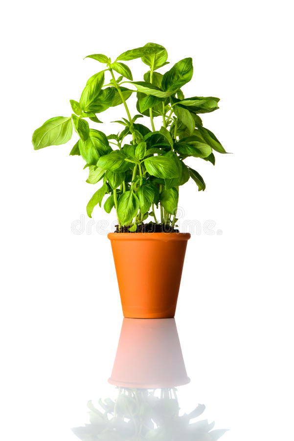 Fresh Basil in Pot Isolated on White Background stock photography