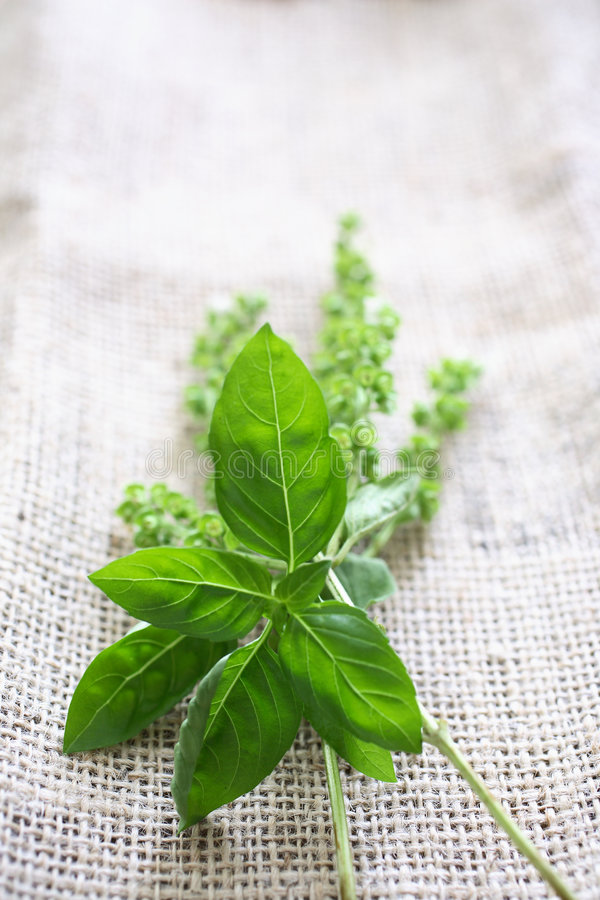 Download Fresh basil on tablecloth stock photo. Image of fresh - 7751188