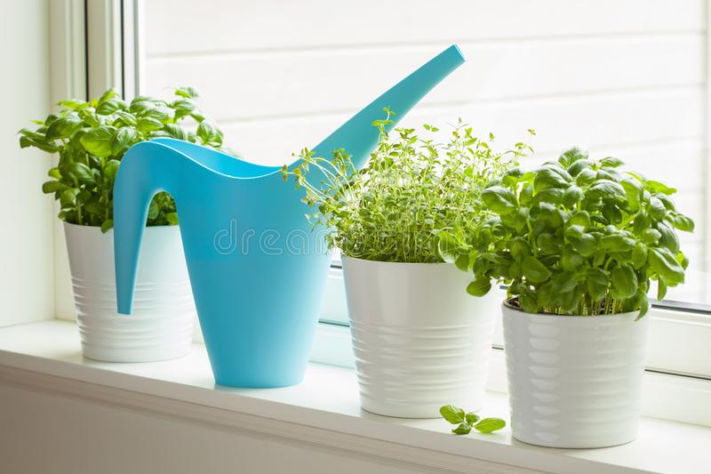Download Fresh Basil And Thyme Herbs In Flowerpot On Window, Watering Can Stock Image - Image of food, natural: 112116615