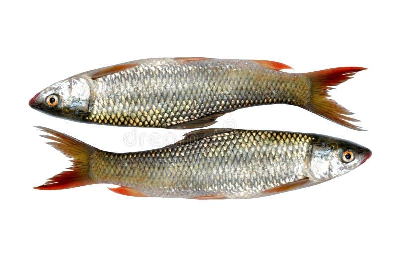 Fresh bass fish stock images