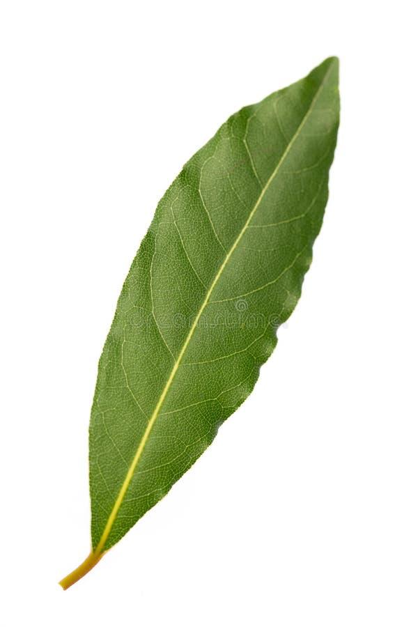 Fresh bay leaf isolated on white background royalty free stock photos