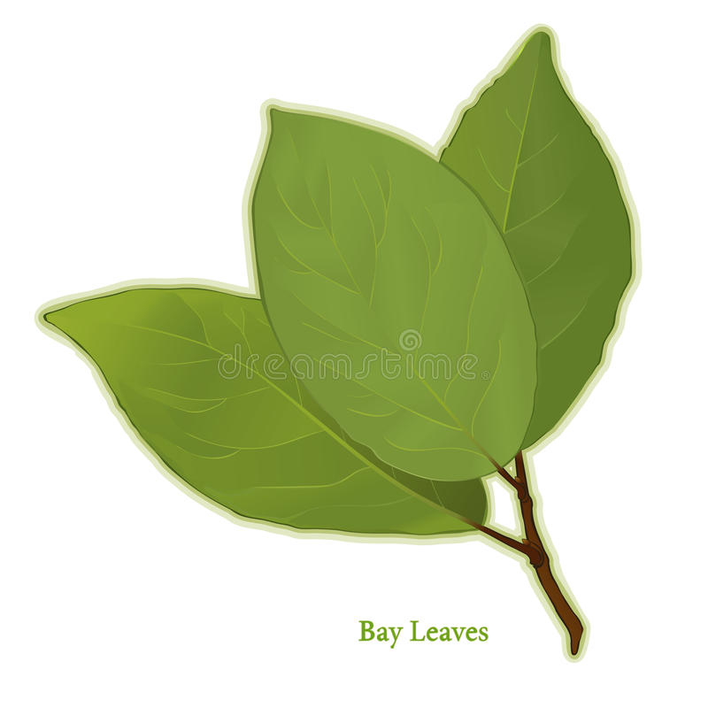 Download Fresh Bay Leaves Herb stock vector. Image of flavor, natural - 12232764