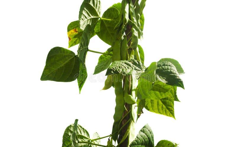 Fresh beans in garden isolated on white stock image