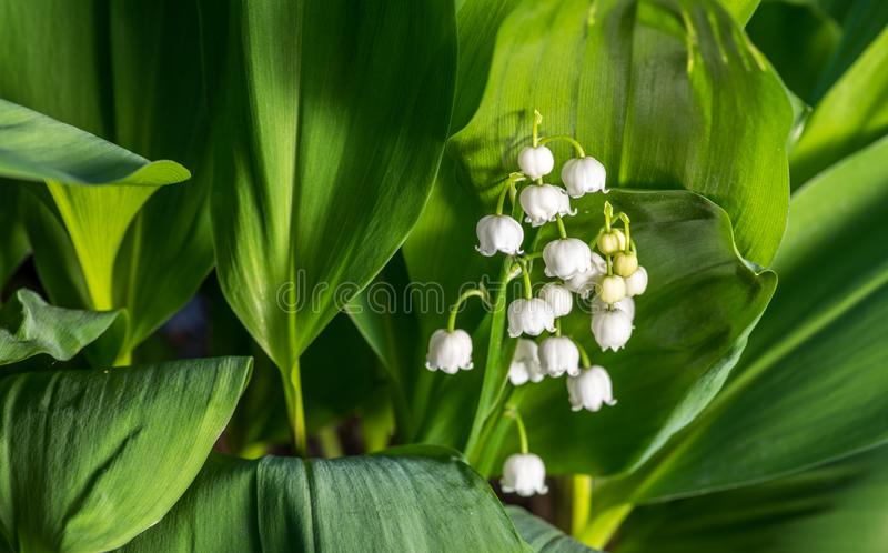Fresh beautiful Convallaria majalis Lily of the valley in the garden bath in morning golden sunlight in natural springtime close u royalty free stock photo