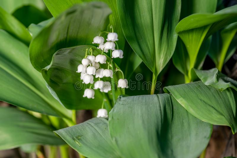 Fresh beautiful Convallaria majalis Lily of the valley in the garden bath in morning golden sunlight in natural springtime close u royalty free stock images