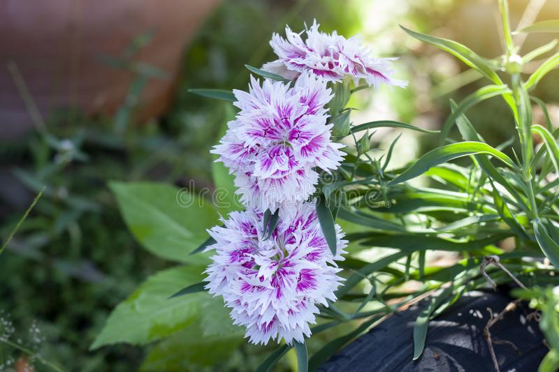 Beautiful dianthus flower pink blooming in the garden. Fresh beautiful dianthus flower pink blooming in the garden royalty free stock photography