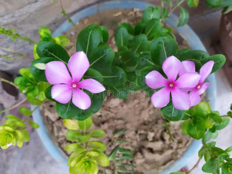 Attractive purple flower with green leaves in pot stock photography