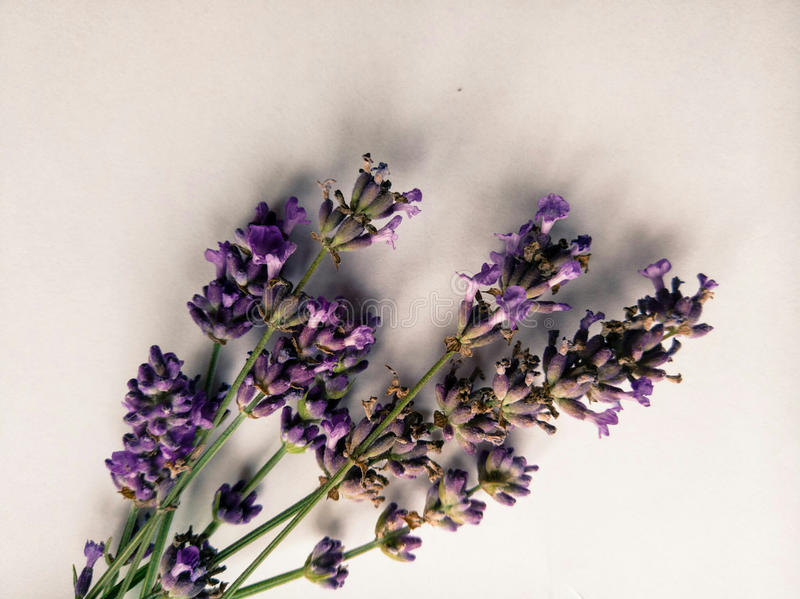 Fresh and beautiful purple lavender flowers on the delicate white background. Purple lavender flowers on the delicate white background for social media posts royalty free stock photography