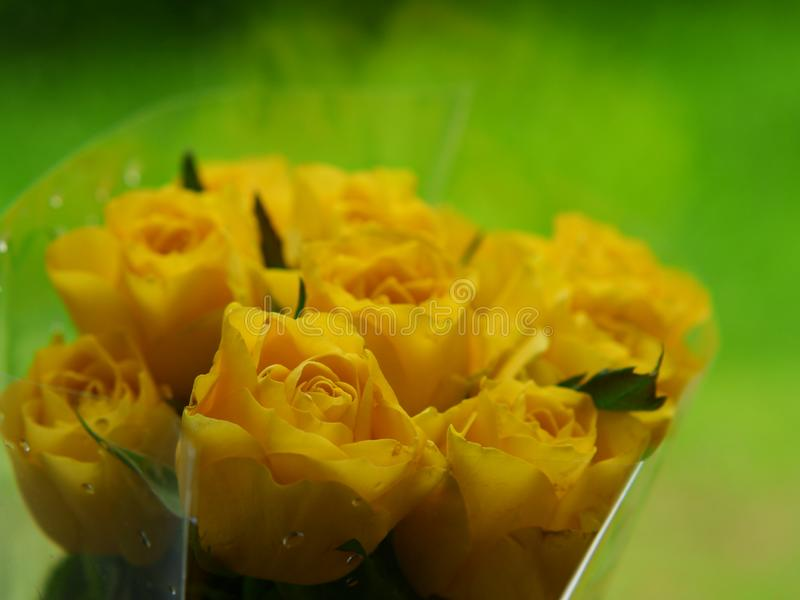 Fresh beautiful yellow rose flowers for background usage - Image. Fresh beautiful yellow rose flowers for background usage - . yi  camera, botanical, gift stock image