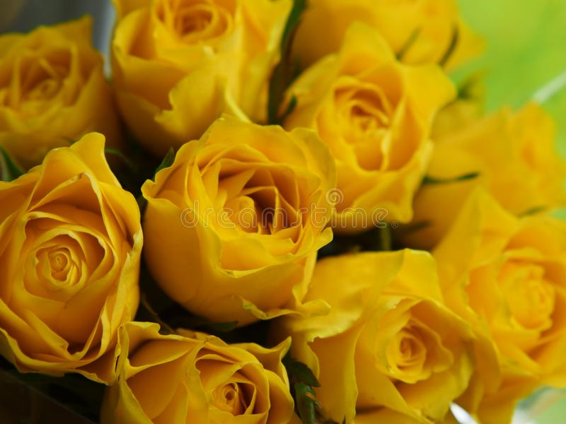 Fresh beautiful yellow rose flowers for background usage - Image. Fresh beautiful yellow rose flowers for background usage - . yi  camera, botanical, gift, love royalty free stock photography
