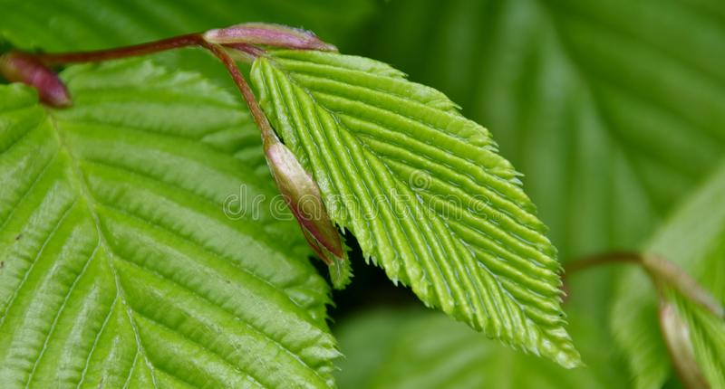 Fresh Beech hedge leaves royalty free stock photography