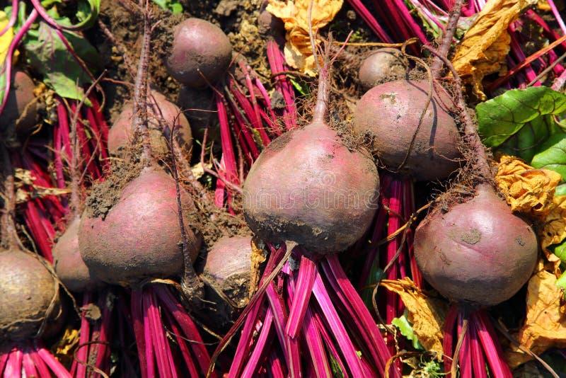 Fresh beet harvest stock images