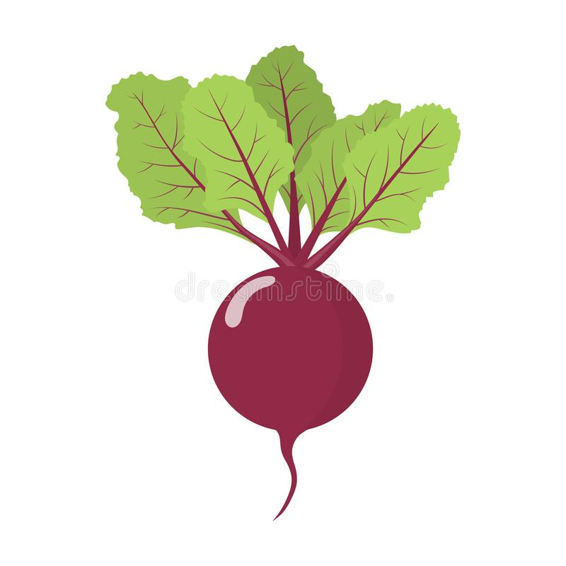 Fresh beet vegetable isolated on white background. Beet icon for market, recipe design. Organic food. Cartoon style. Vector. Fresh beet vegetable isolated on stock illustration