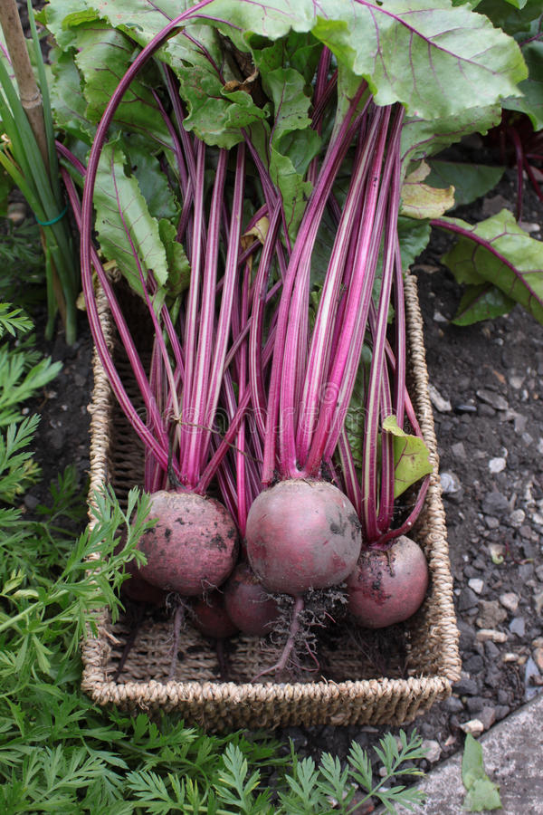 Fresh Beetroot royalty free stock images