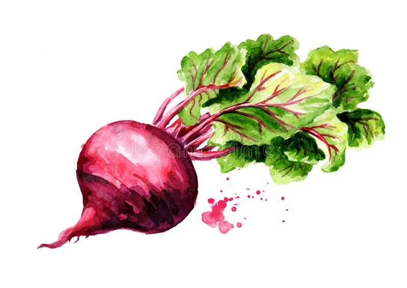 Fresh Beetroot with green leaves. Watercolor hand drawn illustration, isolated on white background royalty free illustration