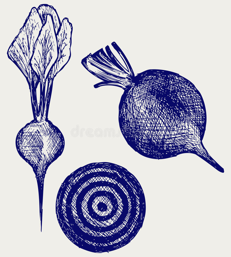Fresh beetroot with leaves. Doodle style vector illustration