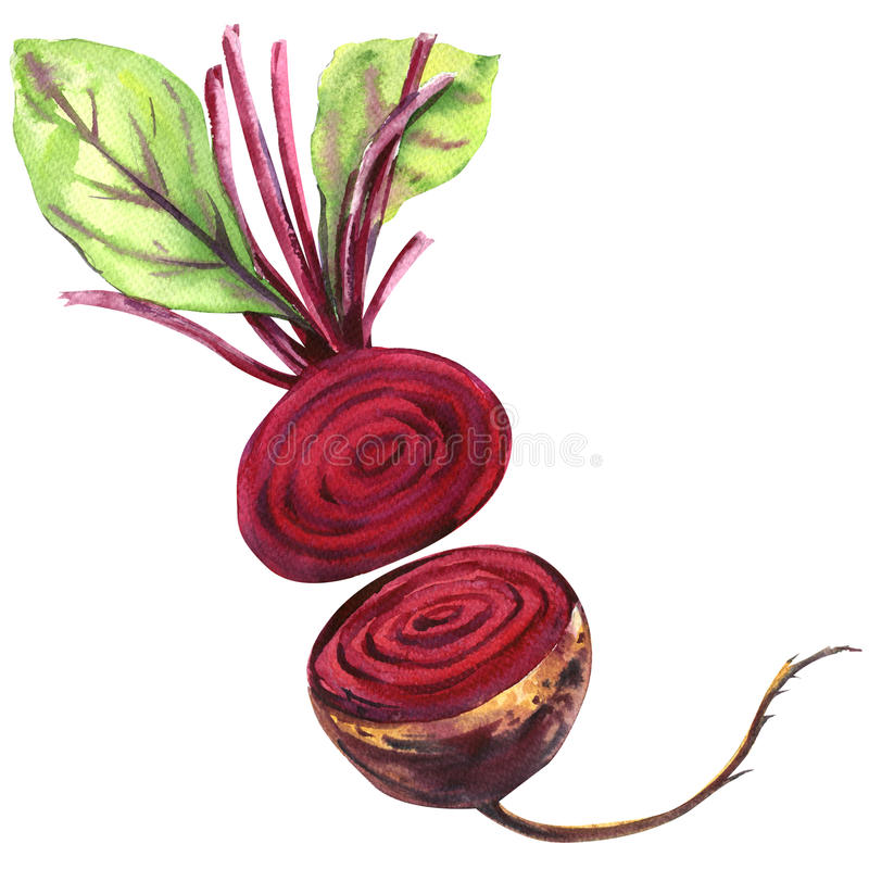 Fresh beetroot with leaves isolated, watercolor illustration stock illustration