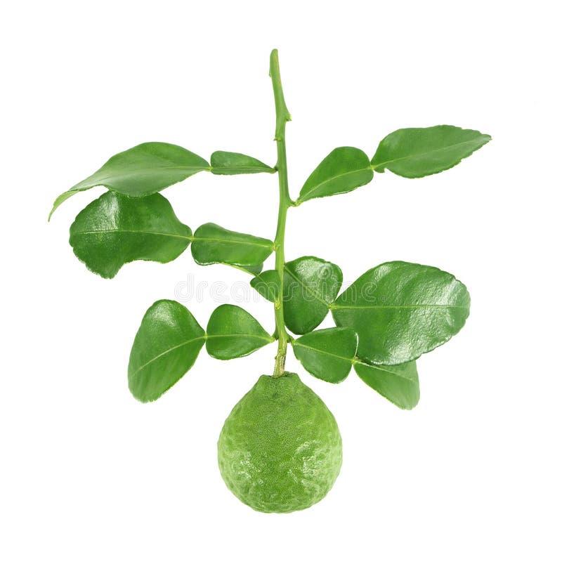 Fresh bergamot and bergamot leaves isolated on white background. Fresh bergamot and bergamot leaves isolated on white stock photos