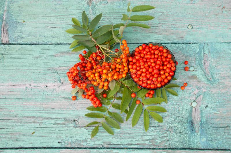 Fresh berries of mountain ash red. Fresh Rowan berries are red on the wooden surface of the table stock image