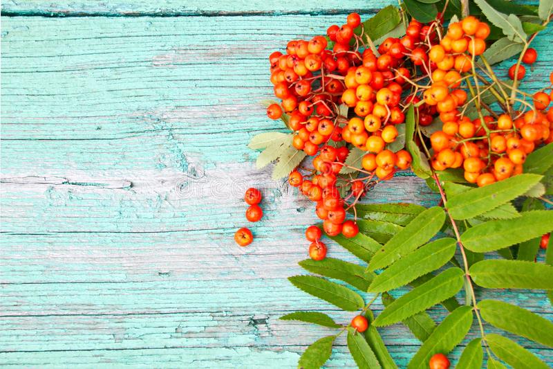 Fresh berries of mountain ash red. Fresh Rowan berries are red on the wooden surface of the table royalty free stock photography