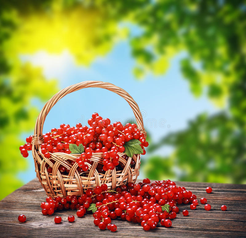 Fresh berries red currant in a basket royalty free stock photos