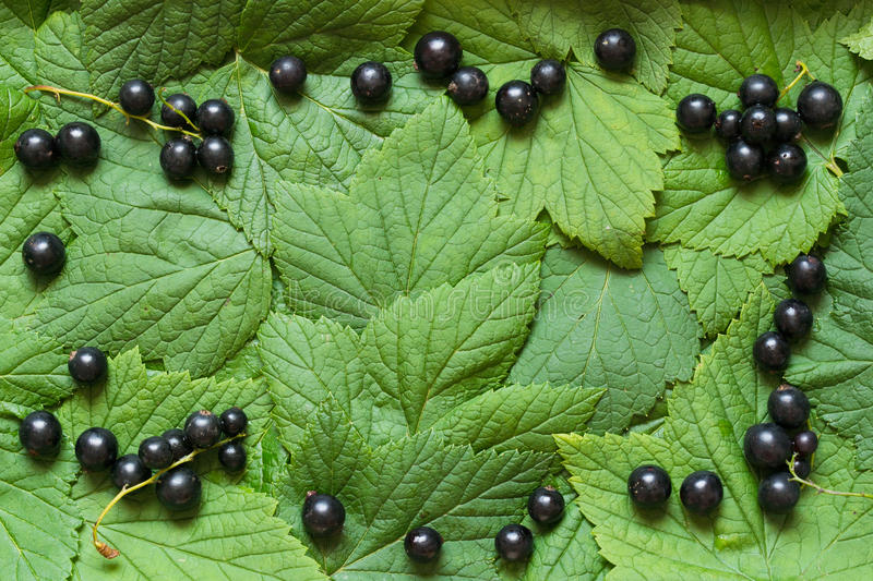 Fresh black currents on the green leaves like a frame. Copy space royalty free stock images