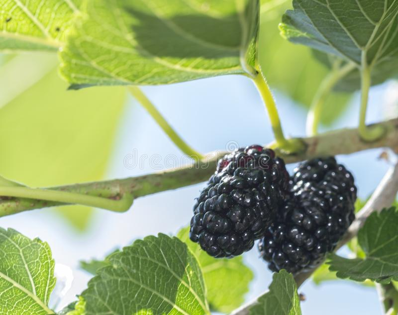 Fresh black mulberry, mulberries on the branch tree royalty free stock image