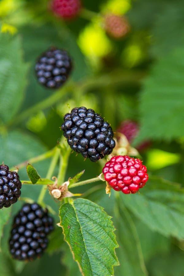 Fresh Blackberries On A Bush Royalty Free Stock Photography