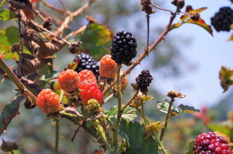 Blackberries platantion on Francisco Morazan Honduras 14 royalty free stock images