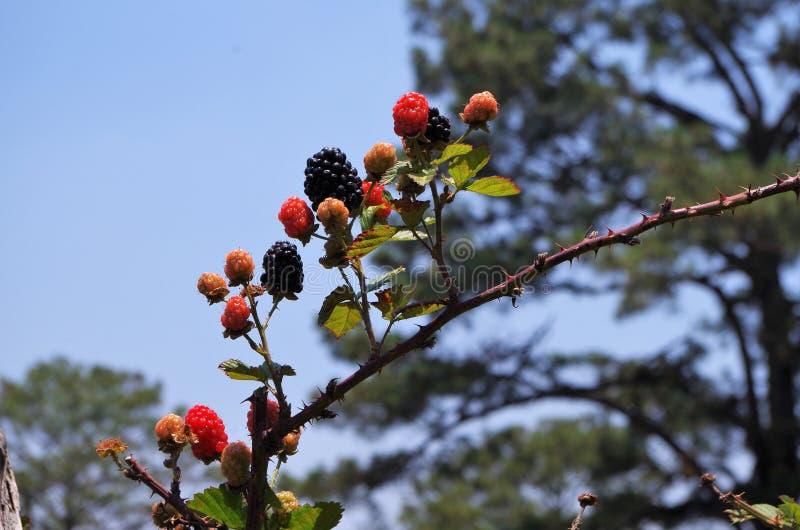 Blackberries platantion on Francisco Morazan Honduras 15 stock photography