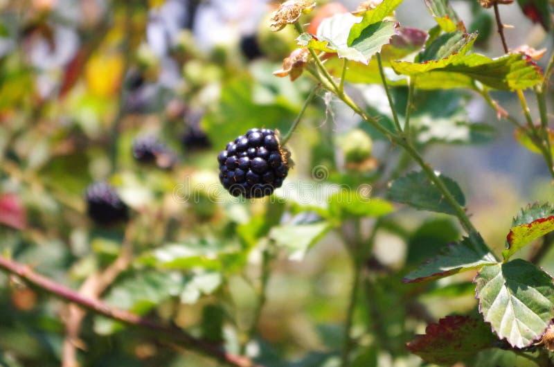 Blackberries platantion on Francisco Morazan Honduras 17 stock photo