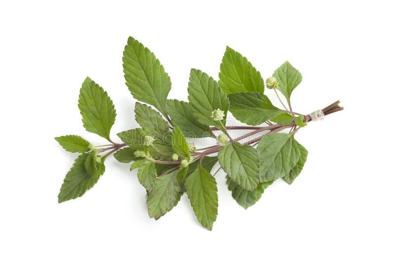 Download Fresh Blooming Aztec Sweet Herb Stock Photo - Image of medicine, stem: 25526442