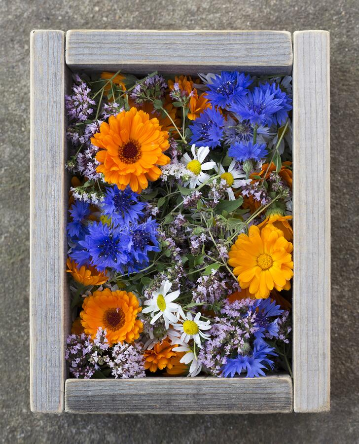 Fresh blooming medicinal herbs in a wooden box. Meadow herbs and flowers, tea collection stock photos
