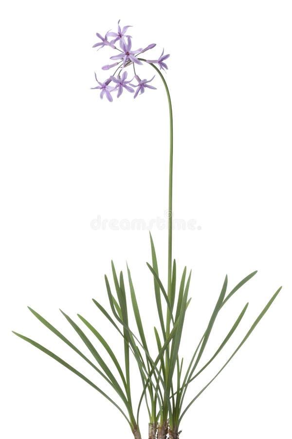 Fresh blooming society garlic. On white background royalty free stock image