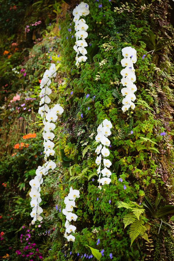 Fresh blossoming white orchid plant flowers on many branch. Es in green tropical garden royalty free stock photography