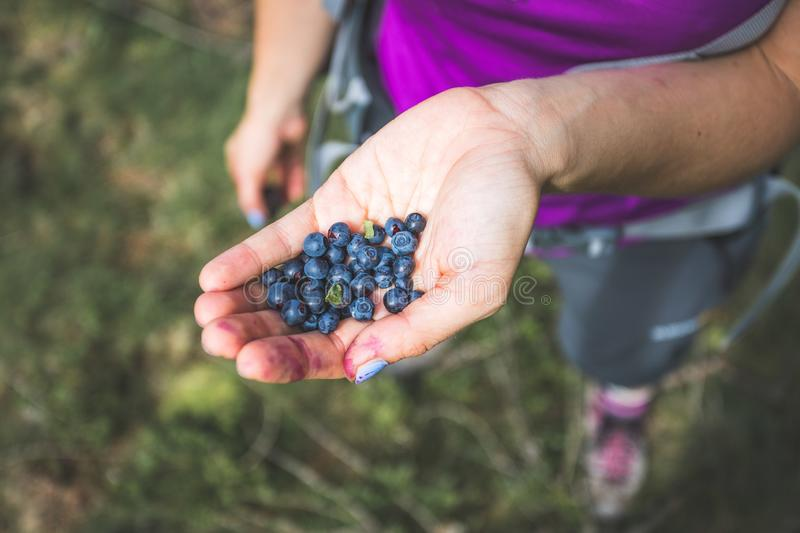 Fresh blue berries in the hand of a young woman: collecting while hiking on the mountains stock image