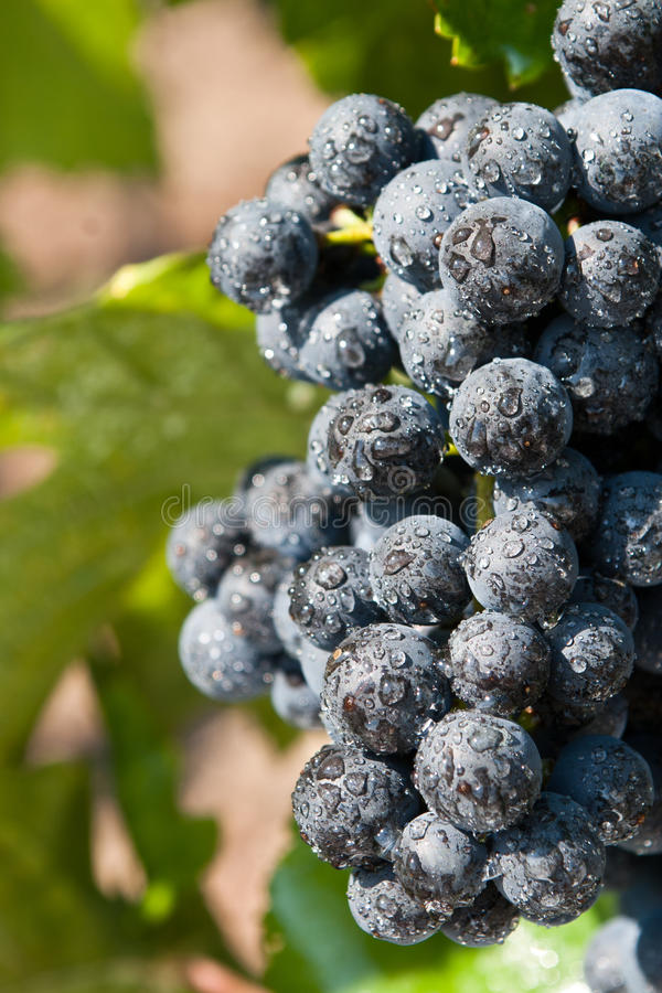 Fresh blue grape cluster royalty free stock photos