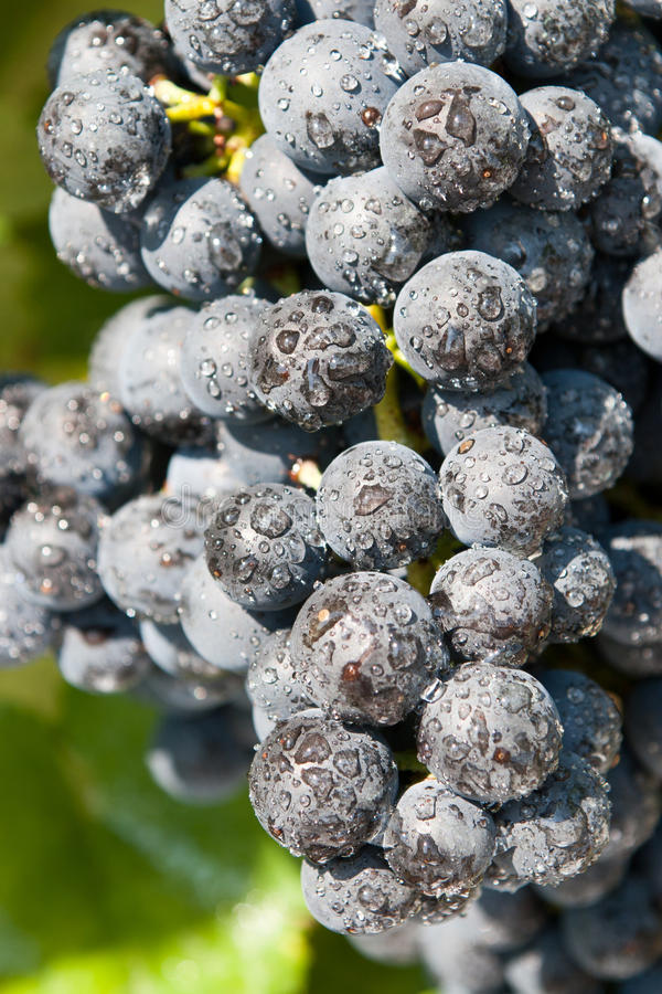 Fresh blue grape cluster royalty free stock photo