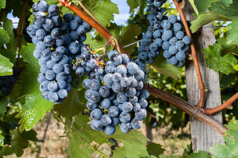 Fresh blue grape cluster royalty free stock images
