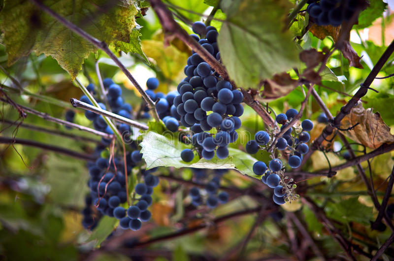 Fresh blue grapes royalty free stock photography