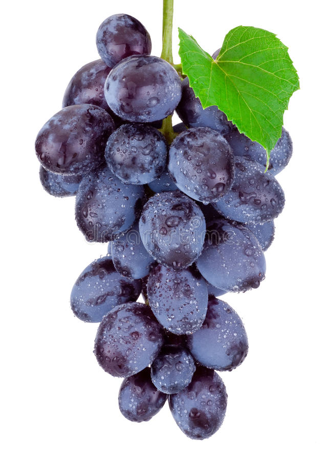 Fresh blue grapes hanging isolated on white background royalty free stock photos