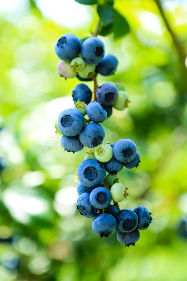 Free Fresh Blueberries Royalty Free Stock Photos - 32238968