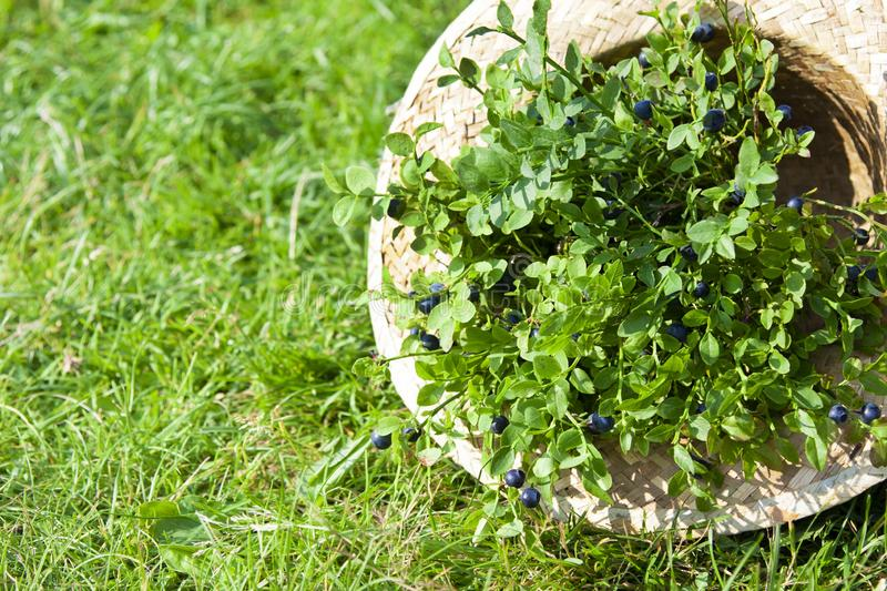Blueberries and summer braided hat on grass. Fresh blueberries and summer braided hat on grass royalty free stock photos