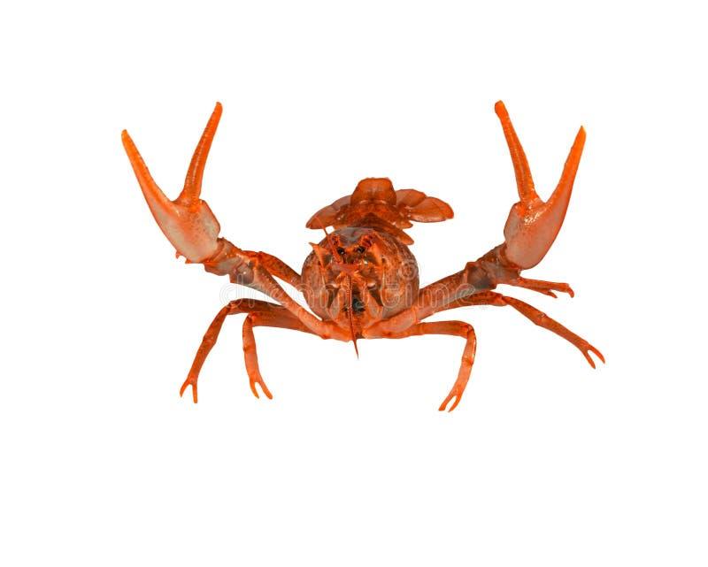 Fresh boiled red crayfish isolated on white background. stock photo