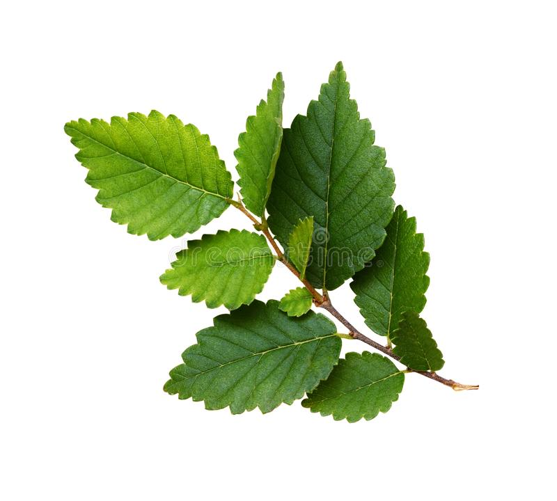 Fresh branch with green leaves royalty free stock photo