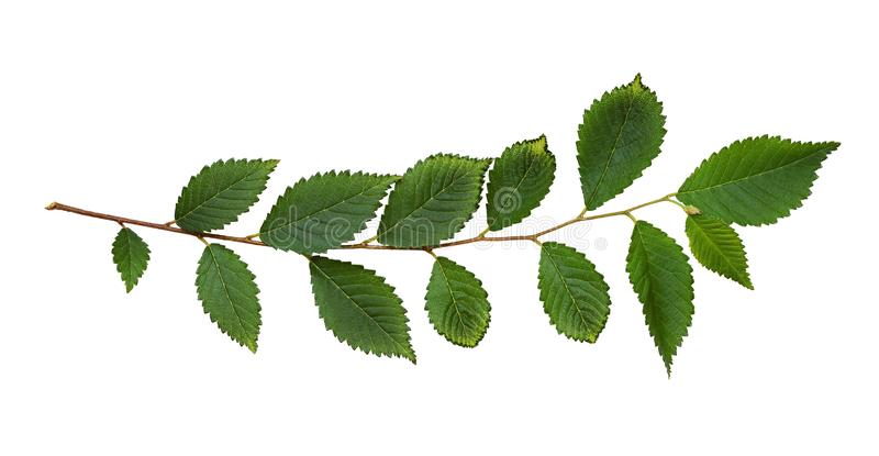 Fresh branch with green leaves royalty free stock photos